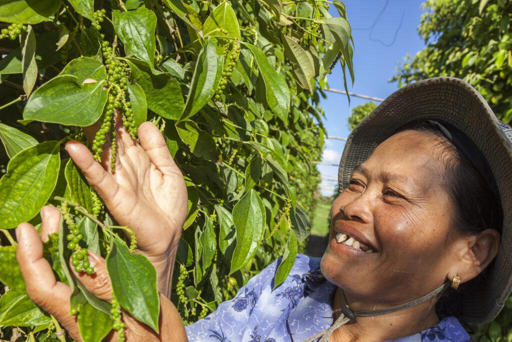 Green Kampot Pepper on the vine